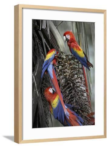 Three Wild Scarlet Macaws Feeding on Palm Fruits, Costa Rica-Tim Fitzharris-Framed Art Print