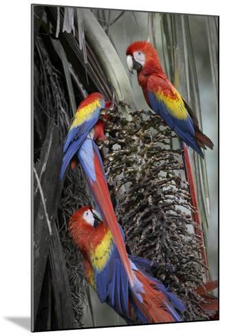 Three Wild Scarlet Macaws Feeding on Palm Fruits, Costa Rica-Tim Fitzharris-Mounted Photographic Print