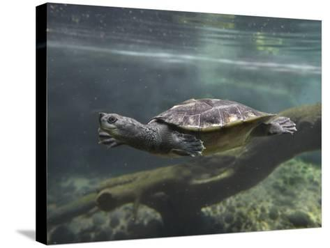 Giant Asian Pond Turtle Swimming Underwater, Singapore-Tim Fitzharris-Stretched Canvas Print