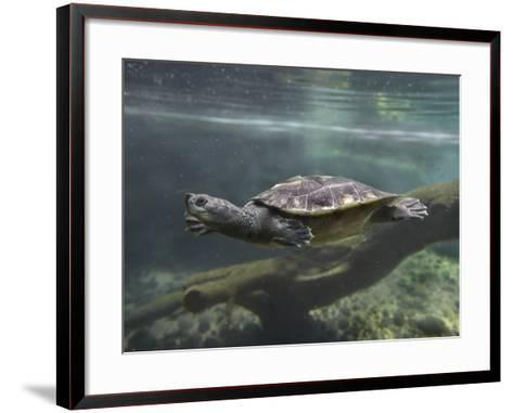 Giant Asian Pond Turtle Swimming Underwater, Singapore-Tim Fitzharris-Framed Art Print