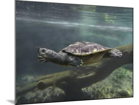 Giant Asian Pond Turtle Swimming Underwater, Singapore-Tim Fitzharris-Mounted Photographic Print
