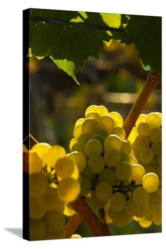 Washington State, Yakima Valley. Chardonnay Grapes-Richard Duval-Stretched Canvas Print