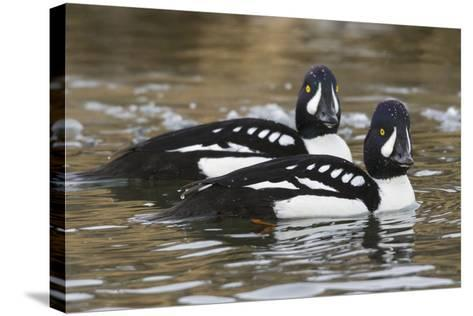 Barrow's Goldeneyes on Icey River-Ken Archer-Stretched Canvas Print