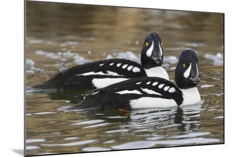 Barrow's Goldeneyes on Icey River-Ken Archer-Mounted Photographic Print
