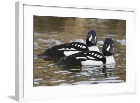 Barrow's Goldeneyes on Icey River-Ken Archer-Framed Art Print