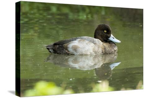 Usa. Lesser Scaup, Aythya Affinis-David Slater-Stretched Canvas Print