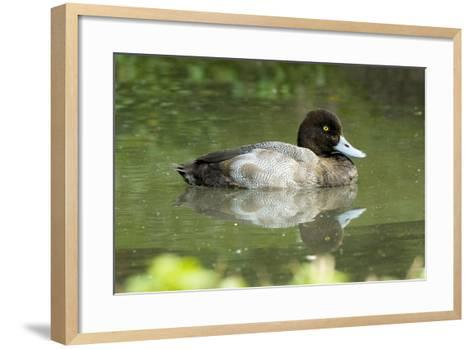 Usa. Lesser Scaup, Aythya Affinis-David Slater-Framed Art Print