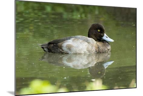 Usa. Lesser Scaup, Aythya Affinis-David Slater-Mounted Photographic Print