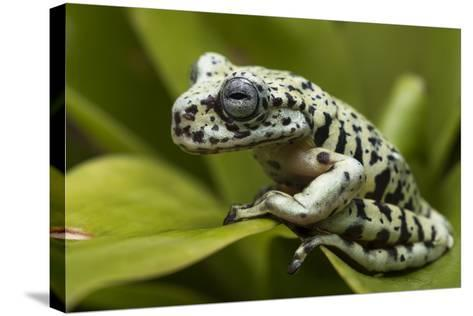 Tiger Tree Frog, Ecuador-Pete Oxford-Stretched Canvas Print