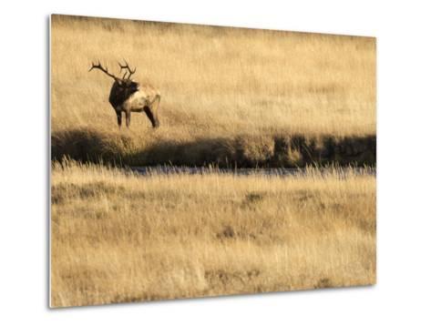Rocky Mountain Bull Elk Bugling, Cervus Elaphus, Madison River, Yellowstone National Park, Wyoming-Maresa Pryor-Metal Print