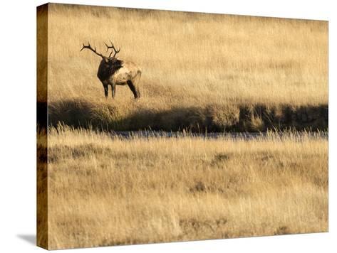 Rocky Mountain Bull Elk Bugling, Cervus Elaphus, Madison River, Yellowstone National Park, Wyoming-Maresa Pryor-Stretched Canvas Print
