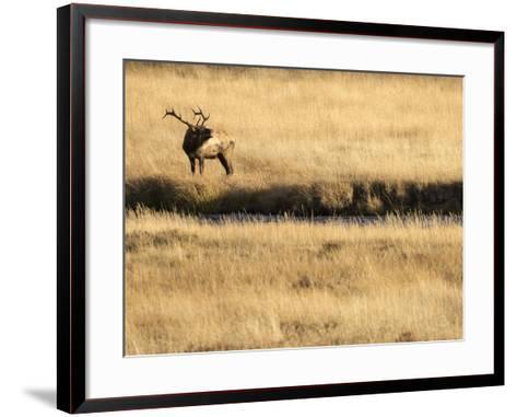 Rocky Mountain Bull Elk Bugling, Cervus Elaphus, Madison River, Yellowstone National Park, Wyoming-Maresa Pryor-Framed Art Print