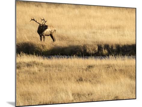 Rocky Mountain Bull Elk Bugling, Cervus Elaphus, Madison River, Yellowstone National Park, Wyoming-Maresa Pryor-Mounted Photographic Print
