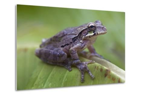 Common Mexican Tree Frog, Costa Rica-Tim Fitzharris-Metal Print
