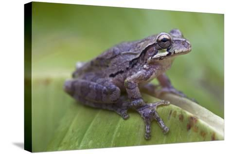 Common Mexican Tree Frog, Costa Rica-Tim Fitzharris-Stretched Canvas Print