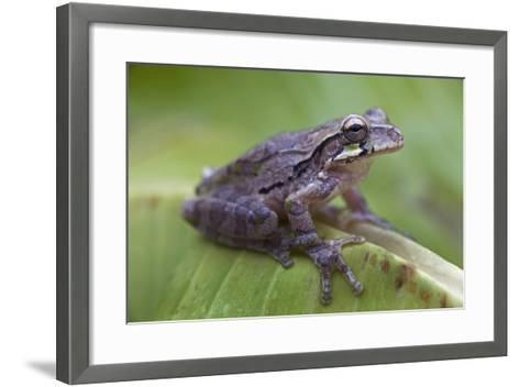 Common Mexican Tree Frog, Costa Rica-Tim Fitzharris-Framed Art Print