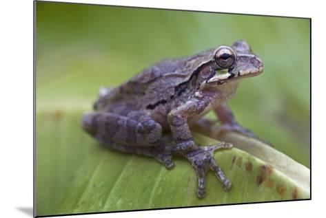 Common Mexican Tree Frog, Costa Rica-Tim Fitzharris-Mounted Photographic Print