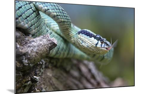 Side-Striped Palm-Pit Viper, Costa Rica-Tim Fitzharris-Mounted Photographic Print