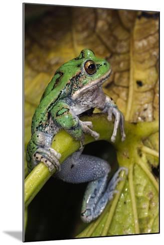 San Lucas Marsupial Frog, Andes, Ecuador-Pete Oxford-Mounted Photographic Print
