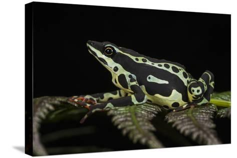 Harlequin Frog, Ecuador-Pete Oxford-Stretched Canvas Print