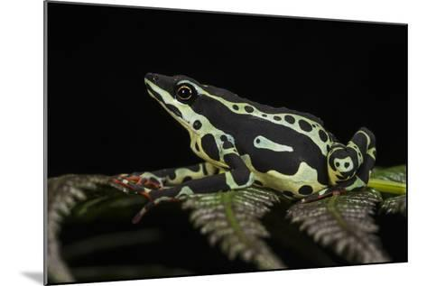 Harlequin Frog, Ecuador-Pete Oxford-Mounted Photographic Print