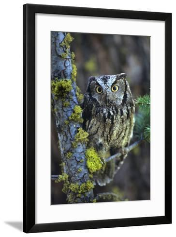 Western Screech Owl with a Shocked Look, British Columbia, Canada-Tim Fitzharris-Framed Art Print