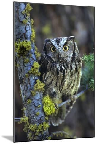 Western Screech Owl with a Shocked Look, British Columbia, Canada-Tim Fitzharris-Mounted Photographic Print