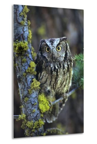 Western Screech Owl with a Shocked Look, British Columbia, Canada-Tim Fitzharris-Metal Print