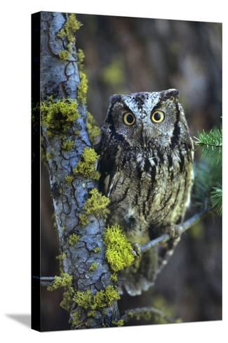 Western Screech Owl with a Shocked Look, British Columbia, Canada-Tim Fitzharris-Stretched Canvas Print