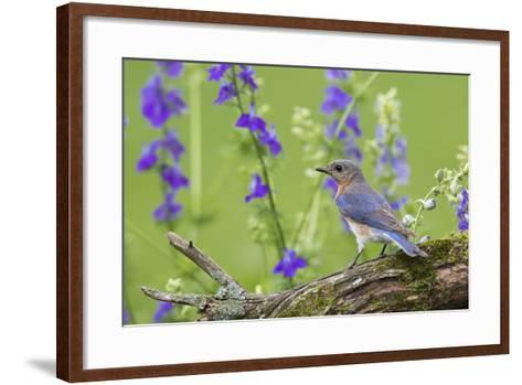 Eastern Bluebird Female in Flower Garden, Marion County, Il-Richard and Susan Day-Framed Art Print