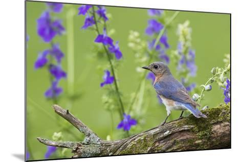 Eastern Bluebird Female in Flower Garden, Marion County, Il-Richard and Susan Day-Mounted Photographic Print