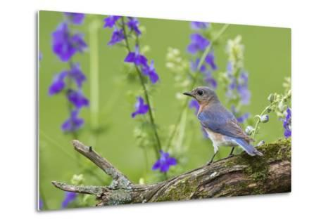 Eastern Bluebird Female in Flower Garden, Marion County, Il-Richard and Susan Day-Metal Print
