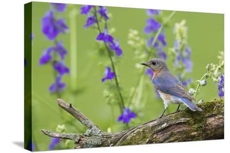Eastern Bluebird Female in Flower Garden, Marion County, Il-Richard and Susan Day-Stretched Canvas Print