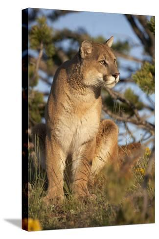 Mountain Lion Looking Off into the Distance, Montana, Usa-Tim Fitzharris-Stretched Canvas Print