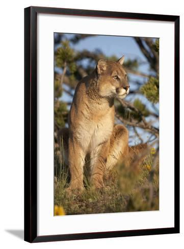 Mountain Lion Looking Off into the Distance, Montana, Usa-Tim Fitzharris-Framed Art Print