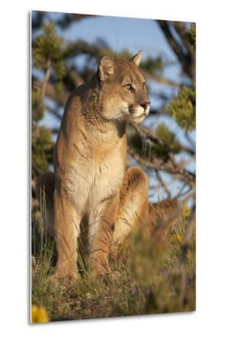 Mountain Lion Looking Off into the Distance, Montana, Usa-Tim Fitzharris-Metal Print