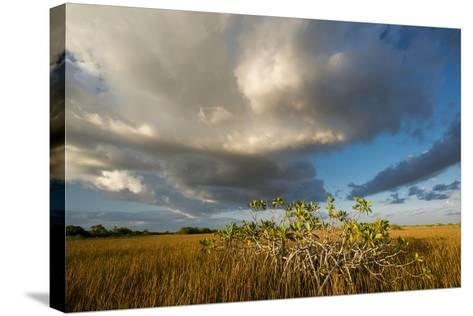 Florida. Sunset on Red Mangroves in Everglades National Park-Judith Zimmerman-Stretched Canvas Print