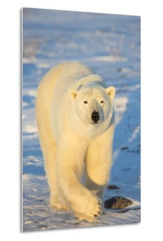Polar Bear in Churchill Wildlife Management Area, Churchill, Manitoba, Canada-Richard and Susan Day-Metal Print