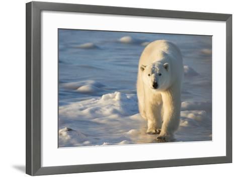 Polar Bear in Churchill Wildlife Management Area, Churchill, Manitoba, Canada-Richard and Susan Day-Framed Art Print