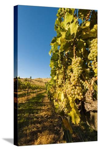Washington State, Lake Chelan. Riesling Grape Cluster-Richard Duval-Stretched Canvas Print