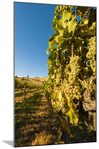 Washington State, Lake Chelan. Riesling Grape Cluster-Richard Duval-Mounted Photographic Print