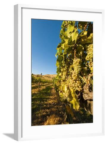 Washington State, Lake Chelan. Riesling Grape Cluster-Richard Duval-Framed Art Print