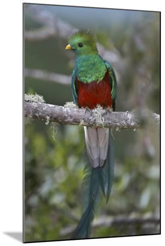 Resplendent Quetzal, Costa Rica-Tim Fitzharris-Mounted Photographic Print