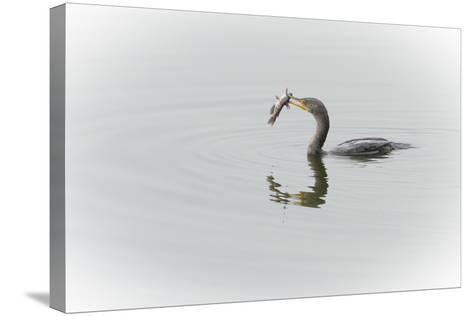 A Cormorant Catching a Large Fish in Beak-Sheila Haddad-Stretched Canvas Print