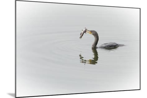 A Cormorant Catching a Large Fish in Beak-Sheila Haddad-Mounted Photographic Print