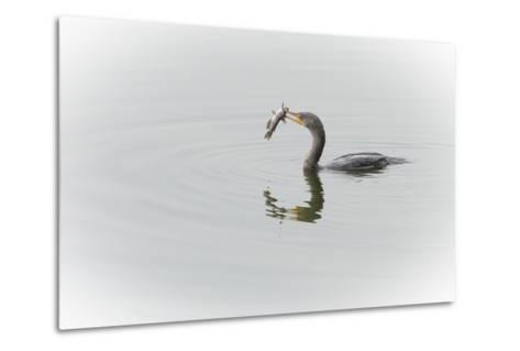 A Cormorant Catching a Large Fish in Beak-Sheila Haddad-Metal Print