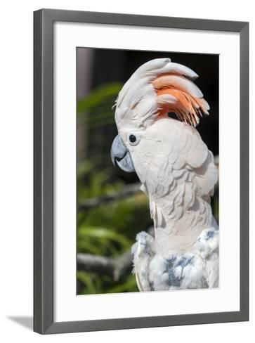 Florida, Orlando, Gatorland, Citron Cockatoo-Jim Engelbrecht-Framed Art Print