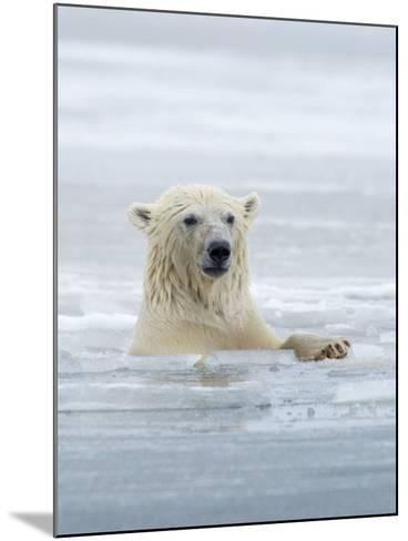 Polar Bears Near Kaktovic, Alaska-Howie Garber-Mounted Photographic Print