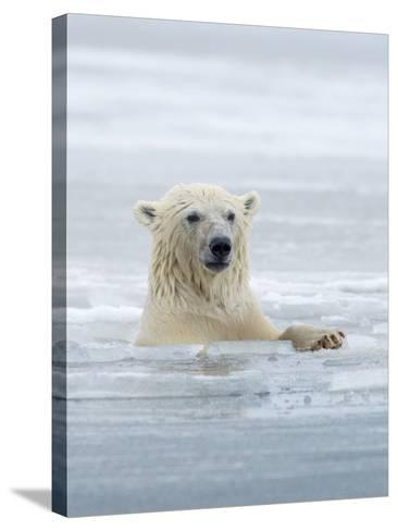Polar Bears Near Kaktovic, Alaska-Howie Garber-Stretched Canvas Print