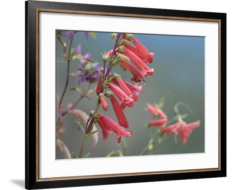 Firecracker Penstemon, New Mexico Usa-Tim Fitzharris-Framed Art Print